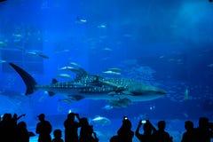 Walvishaai in Okinawa Churaumi Aquarium stock afbeelding