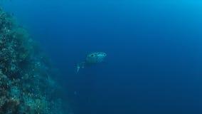 Walvishaai op een koraalrif Royalty-vrije Stock Foto
