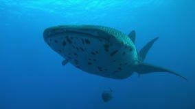 Walvishaai op een koraalrif Royalty-vrije Stock Afbeelding