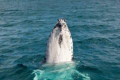 Walvissen bij Hervey-baai beroemd voor zijn Walviscruises stock afbeelding