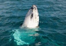 Walvissen bij Hervey-baai beroemd voor zijn Walviscruises royalty-vrije stock afbeelding