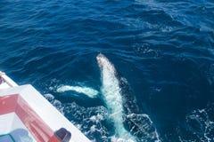 Walvissen bij Hervey-baai beroemd voor zijn Walviscruises stock foto