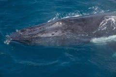 Walvissen bij Hervey-baai beroemd voor zijn Walviscruises stock afbeeldingen