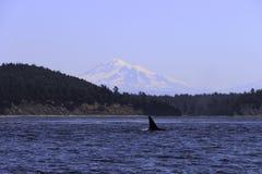 Walvissen die bij het orkaeiland Washington spoting royalty-vrije stock afbeeldingen