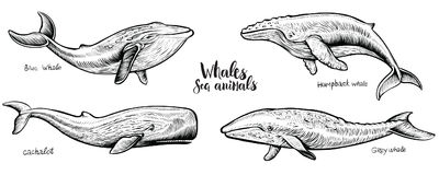 Walvissen vectorhand getrokken illustratie Royalty-vrije Stock Afbeeldingen