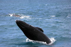 Walvissengebochelden royalty-vrije stock foto