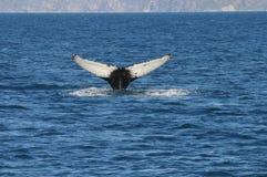 Walvisstaart Stock Foto