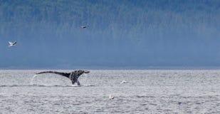 Walvisstaart het bespatten in de Oceaan stock fotografie