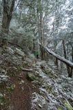 Wamen adultos jovenes que caminan en bosque de la haya en nieve Foto de archivo