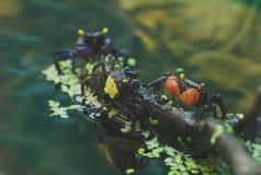 Wampirów kraby zdjęcia stock