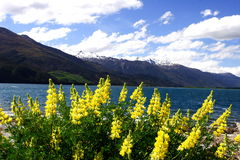 wanaka лаванды озера Стоковые Изображения RF