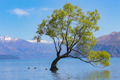 Wanaka tree Royalty Free Stock Images