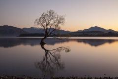 Free Wanaka Tree In Sunrise, New Zealand Royalty Free Stock Photo - 78318235