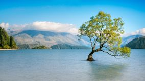 Wanaka Tree on a Serene Morning. A symbolic willow tree just of the shore of lake on a serene morning at lake Wanaka. Wanaka is a popular ski and summer resort Stock Photo