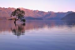 Wanaka tree. Stunning tree on the Lake Wanaka in the morning royalty free stock images