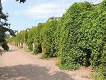 Wand bedeckt mit blauem Himmel des grünen Laubs Stockbild