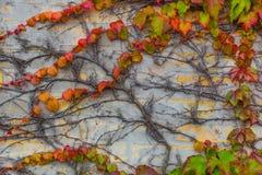 Wand bedeckt mit schönen Efeubeschaffenheiten Stockfotos
