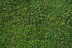 Wand der Ficus-Blätter Lizenzfreies Stockbild