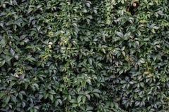 Wand der grünen Blätter Stockfoto