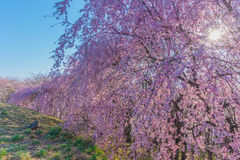 Wand der Kirschblüte Lizenzfreie Stockfotografie