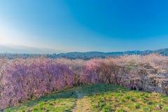 Wand der Kirschblüte Stockfoto