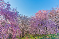 Wand der Kirschblüte Lizenzfreies Stockfoto