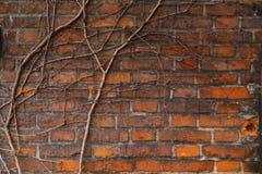 Wand des alten Gebäudes des roten Backsteins, überwältigt mit Reben und Efeu Lizenzfreie Stockfotos