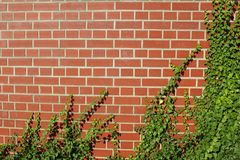 Wand des roten Backsteins mit Efeuhintergrundbeschaffenheit Lizenzfreies Stockbild