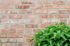 Wand des roten Backsteins mit grünem Gras in der Ecke Beschaffenheit, Hintergrund Stockbilder