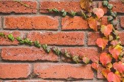 Wand des roten Backsteins mit schönem orange Efeu lizenzfreies stockbild