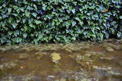 Wand des wilden Efeus Lizenzfreie Stockbilder