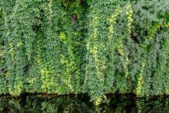 Wand des wilden Efeus mit Reflexion im Wasser Stockbild