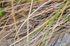 Wand-Eidechse, die im trockenen Gras sich versteckt Stockfotos