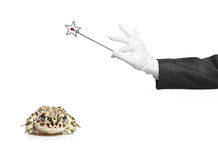 wand för trollkarl för grodaholding magisk Royaltyfri Foto