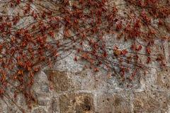 Wand mit roten Blättern Stockbilder