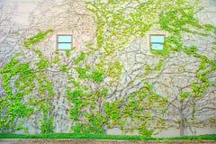 Wand mit zwei Fenstern bedeckt im grünen Efeu Lizenzfreie Stockbilder