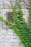 Wand und Fenster mit den Fensterläden überwältigt mit wilden Trauben Lizenzfreies Stockfoto