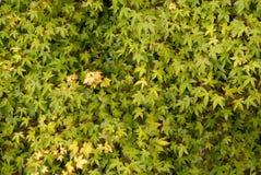 Wand von Acer verlässt Hintergrund Lizenzfreies Stockfoto