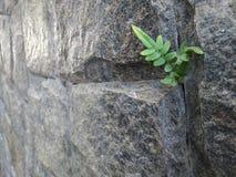 Wand von grauen Steinen, wenn die Anlage zwischen dem Sprung wächst Semambaia, das von den Blicken wächst Schlagender Mann der Na Lizenzfreie Stockfotografie