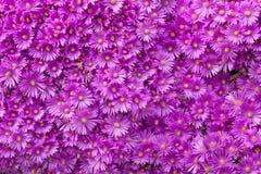 Wand von purpurroten Blumen Stockbild