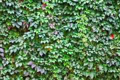 Wandbeschaffenheit der Blätter Lizenzfreie Stockfotografie