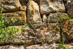 Wandeidechse an einer alten Abteiwand Lizenzfreie Stockfotografie