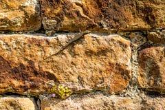 Wandeidechse an einer alten Abteiwand Lizenzfreie Stockfotos