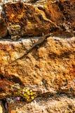 Wandeidechse an einer alten Abteiwand Stockbilder