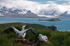 Wandelend Albatrospaar royalty-vrije stock afbeeldingen