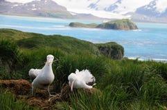Wandelend Albatrospaar stock foto
