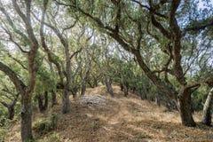 Wandelend door een bos van Kust levend eiken (Quercus agrifolia) bos, kantkorstmos die (Ramalina-menziesii) van de boom hangen stock afbeeldingen