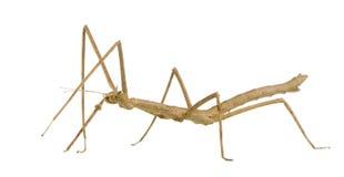 Wandelend tak, extradenta Phasmatodea - Medauroidea stock fotografie