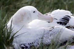 Wandelende Albatros op Nest Royalty-vrije Stock Afbeelding