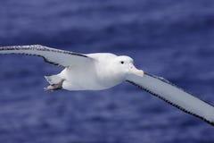 Wandelende Albatros tijdens de vlucht Stock Fotografie